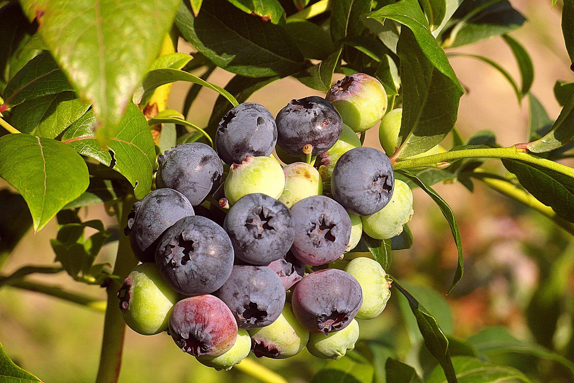 Rośliny Borówki – Wymagania Chłodnicze Do Produkcji Borówki